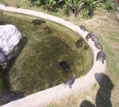 Laghetto tartarughe tutte le offerte cascare a fagiolo for Tartarughe laghetto