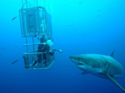 Il comportamento dello squalo bianco - Bagno con gli squali sudafrica ...